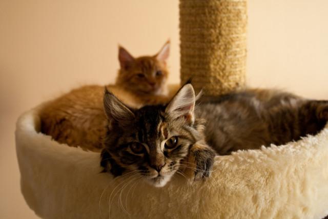 Kittens Murdock and Elektra