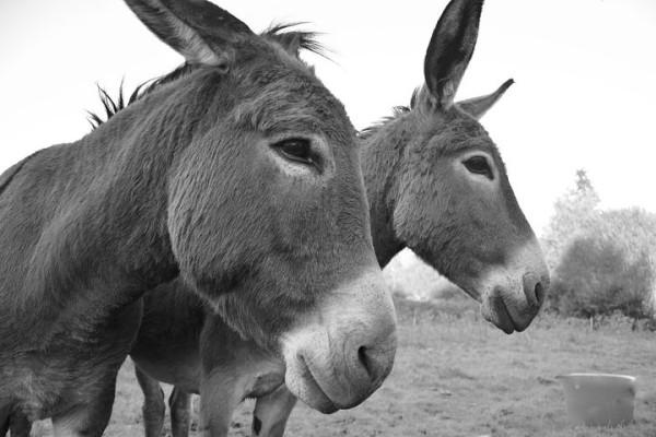 donkeys-2761505__480.jpg