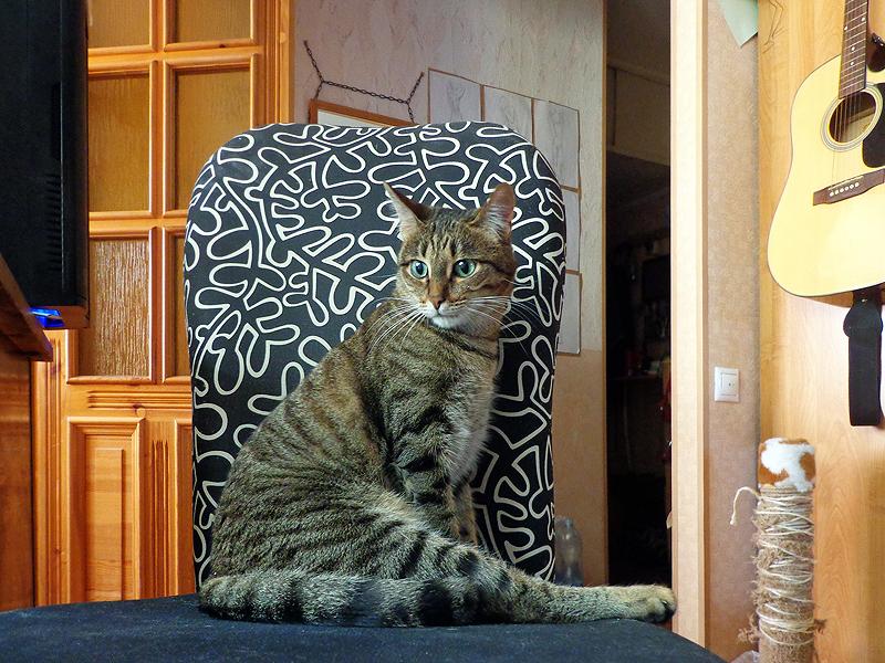 Кошка Чуча, серополосатая ЕКШ