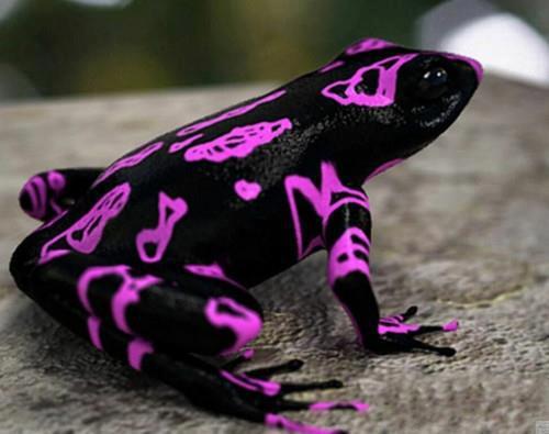 Clown Frog (Atelopus varius) Costa Rican Variable Harlequin Toad