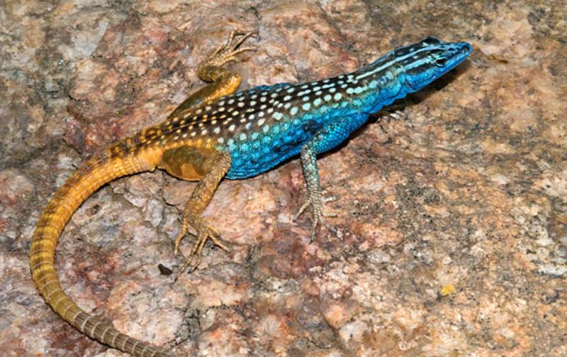 Биологи нашли новый вид плоских ящериц желто-голубого цвета: Platysaurus attenboroughi