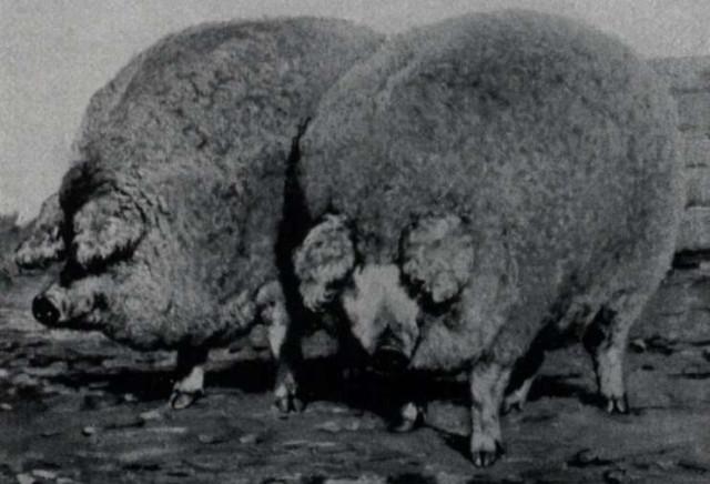 В качестве примера единственная оставшаяся фотография круглой шерстяной породы свиней