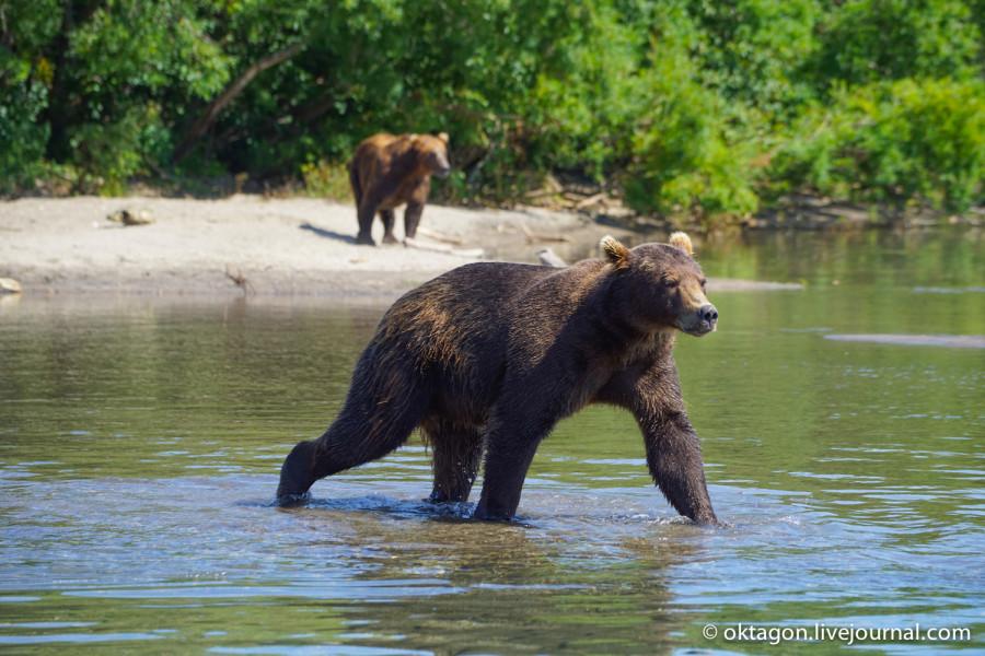 медведи камчатка курильское озеро