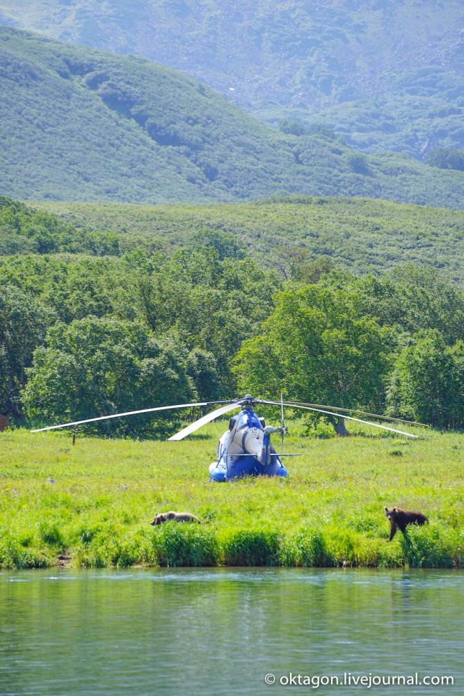 бурые медведи и вертолет