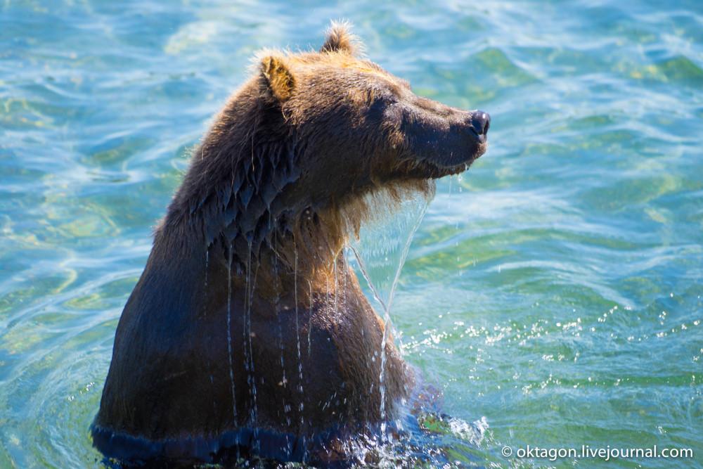 бурый медведь вынырнул
