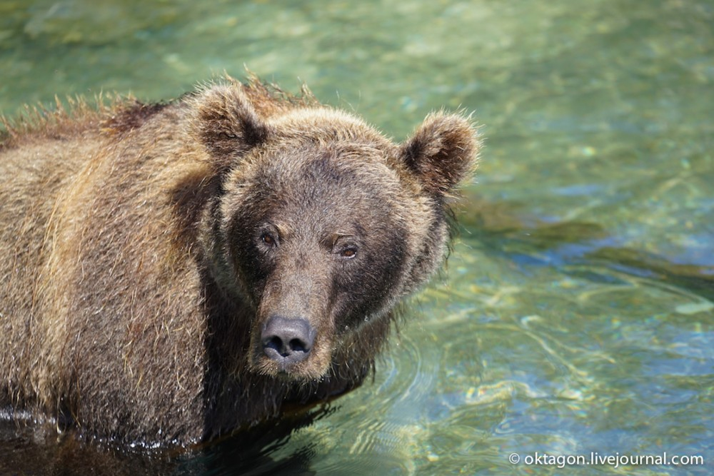 бурый медведь камчатка3