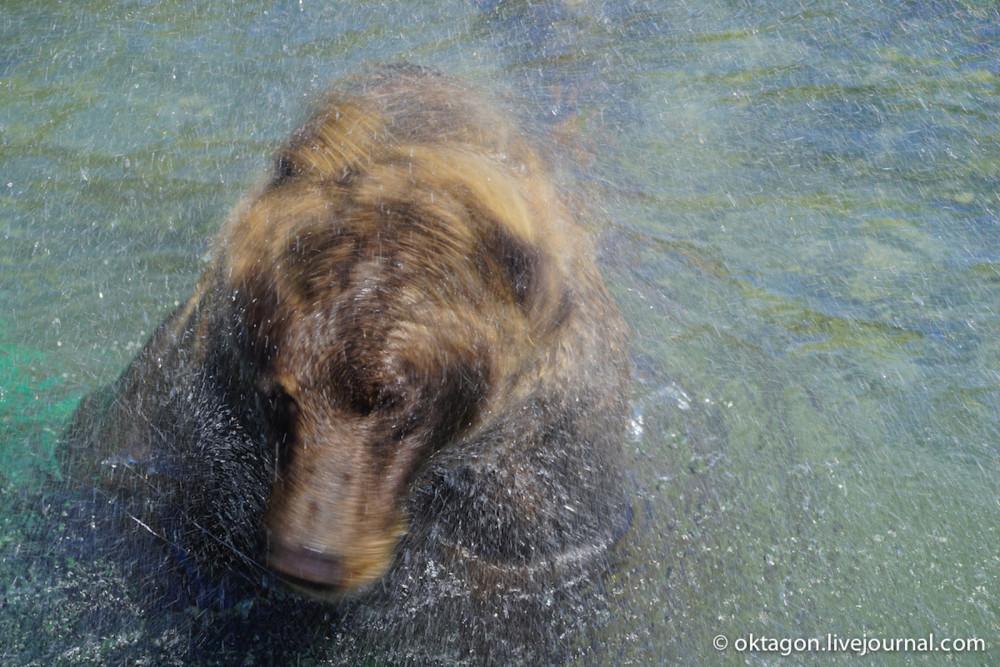 бурый медведь сушится
