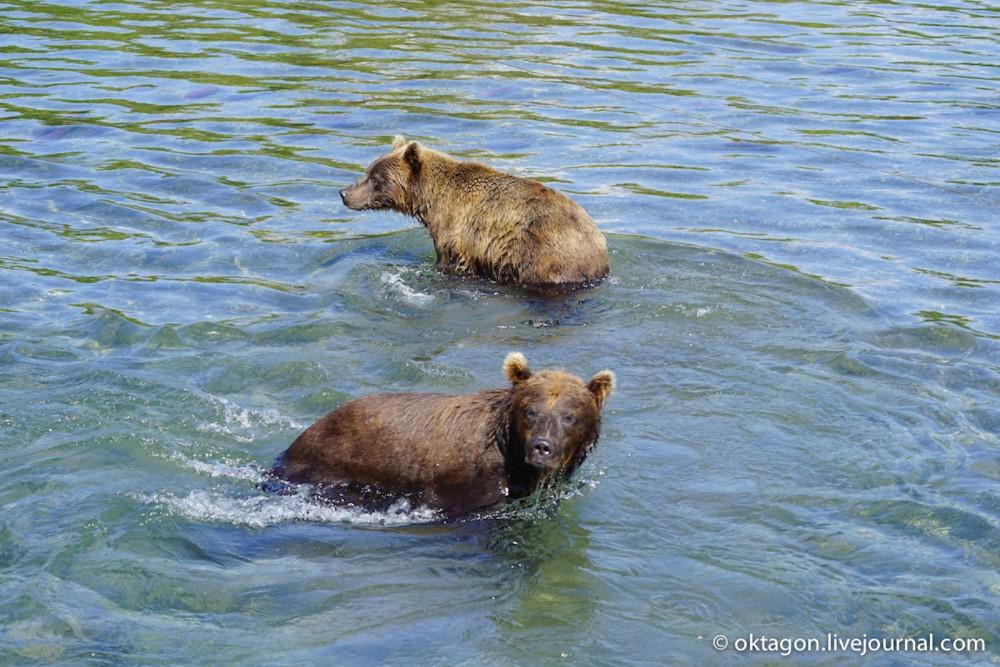 ловля рыбы медведями