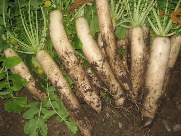 Секреты выращивания дайкона
