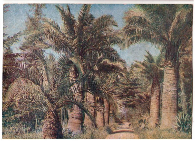 Сухум. Опытный ин-т прикладной ботаники. Аллея пальм. Савельев1
