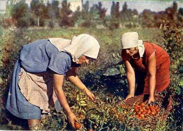 1933 Сбор помидор в совхозе «Красный Перекоп», УССР. Открытка изд. ОГИЗ РСФСР,1933