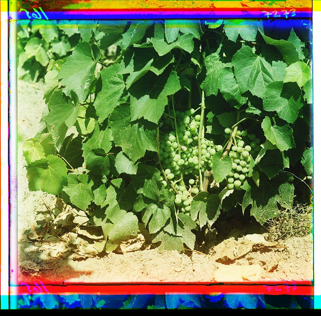 Грозди винограда 0165 21637v