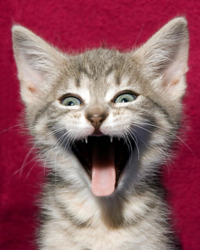 Картинка кот кричит ура