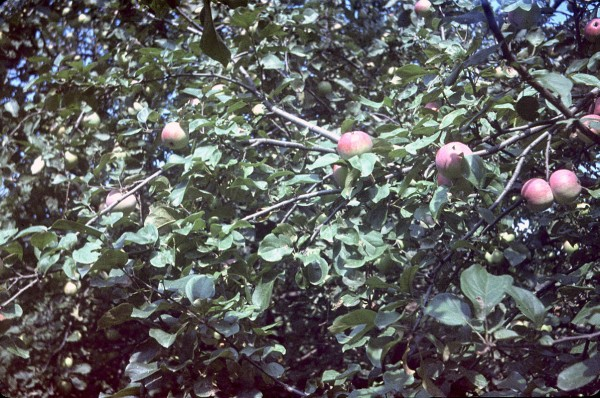 apples_old