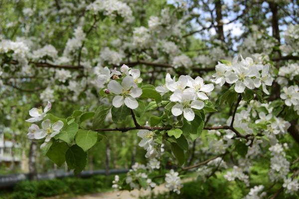 apple_flowers
