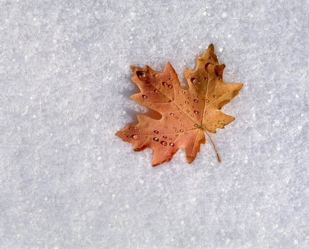 Кленовый лист на снегу
