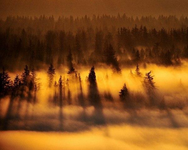 Лес. Ели. Туман