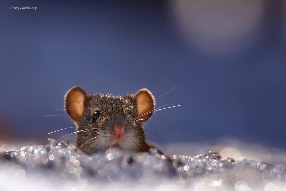 Полевая мышь. Москва, парк Сокольники 2019