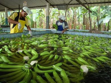 banana-obrabotka