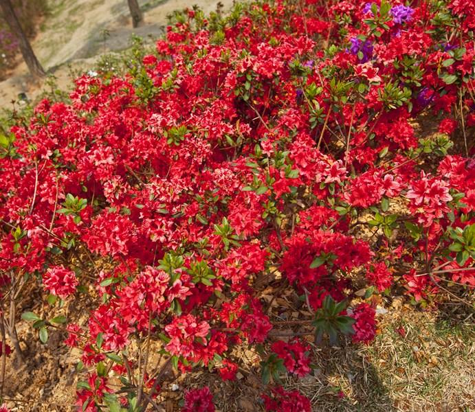Цветы-Корея-9_Сж