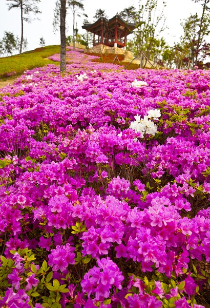 Цветы-Корея-16_Сж
