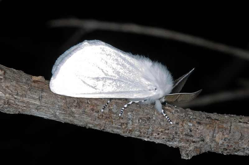Волнянка белая DSC_2828 Leucoma candida