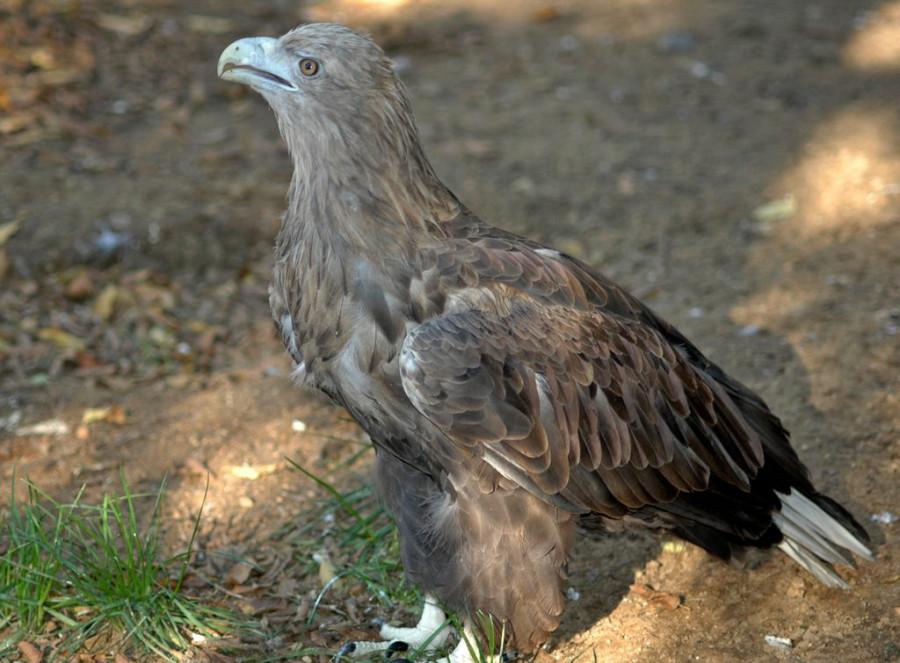 Орлан-белохвост 2