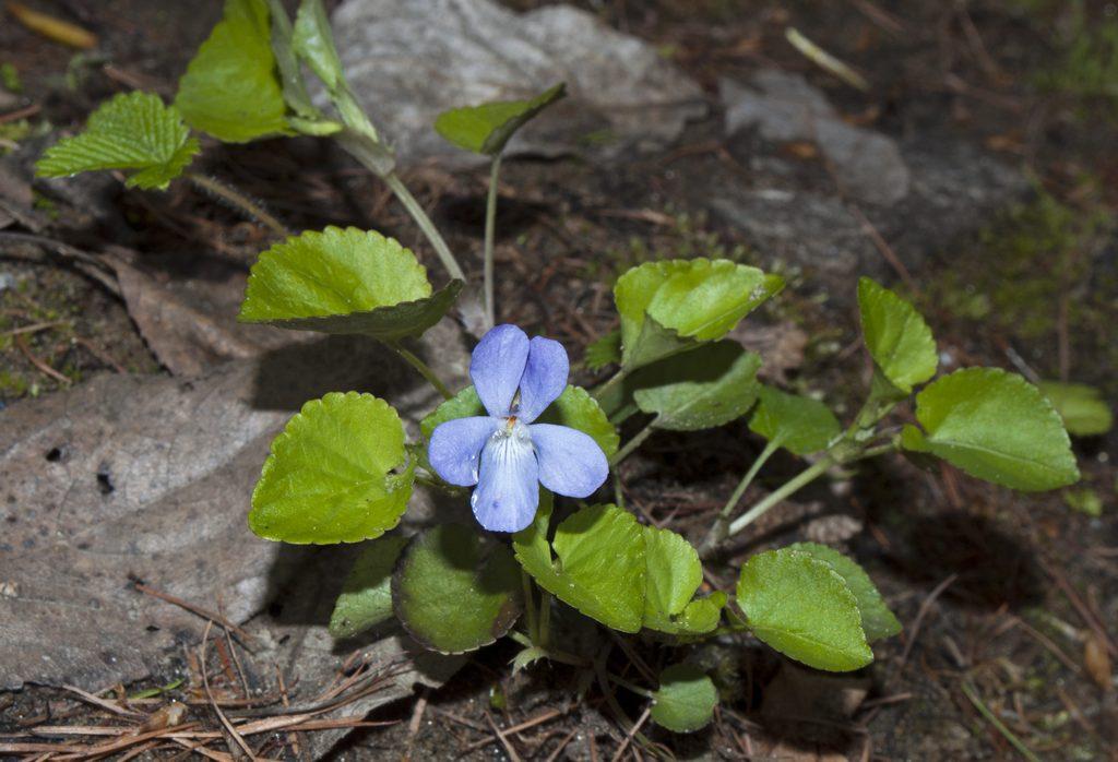 DSC_1562 Viola canina  мб