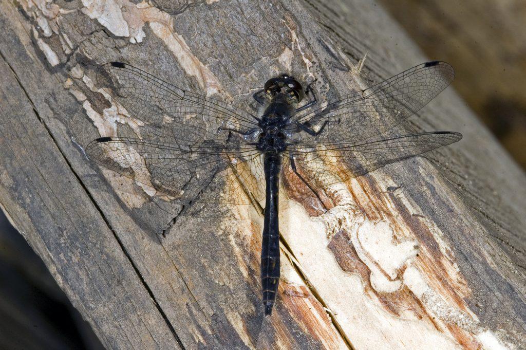 Стрекоза чёрная  самец DSC_3279 мб Symp. danae