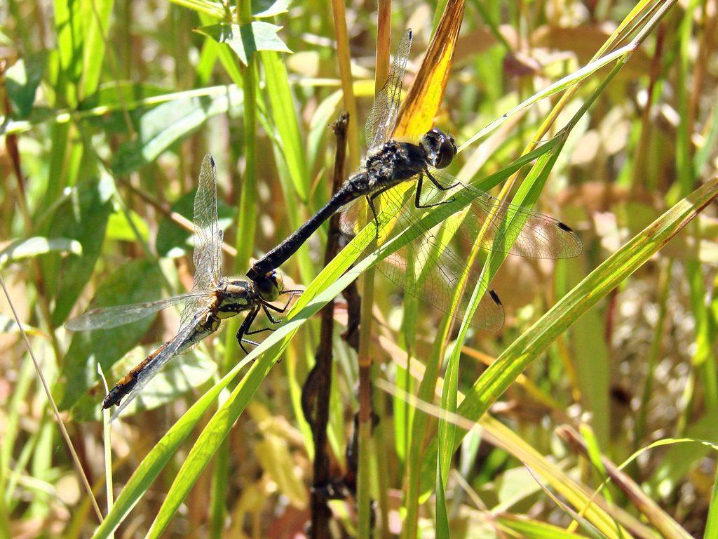 Стрекоза чёрная спаривание стрекозы,осень_5 Маврин