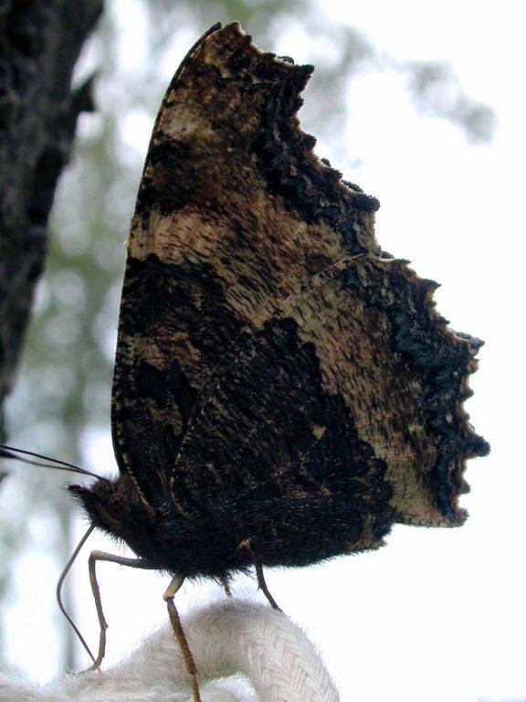 Многоцветница чёрно-жёлтая Nymphalis xanthomelas 1