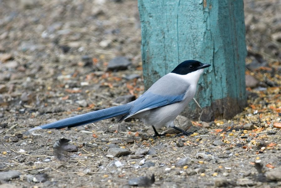 Сорока голубая DSC_3487