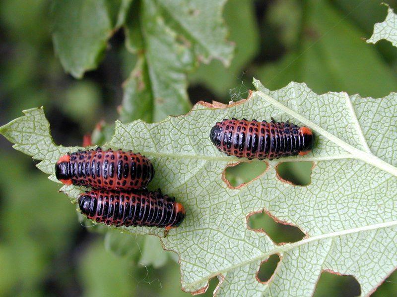 Листоед 12-пятнистый Paropsides duodecimpustulata 2