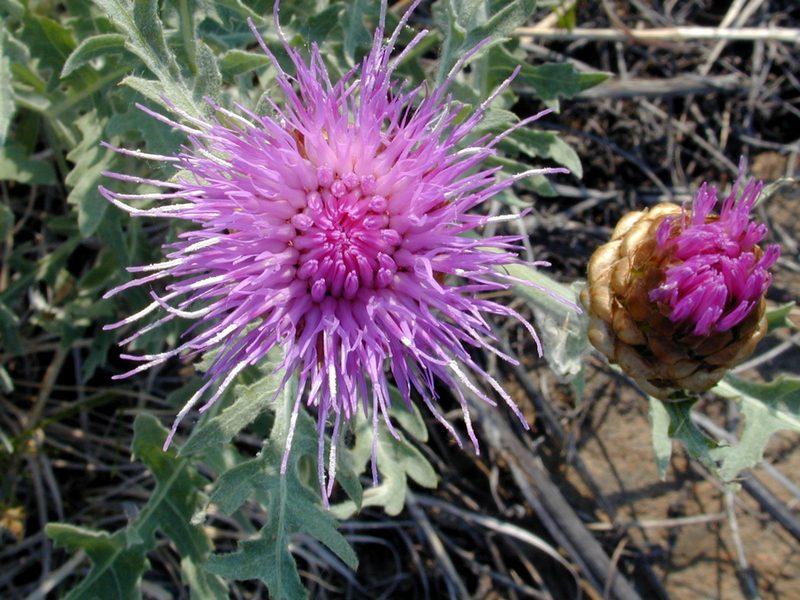 Большеголовник одноцветковый 4