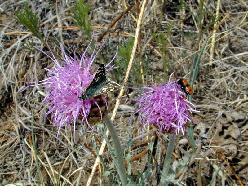 Большеголовник одноцветковый 2