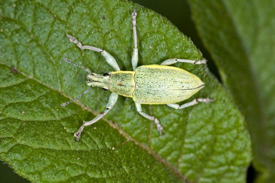 Зеленушка сибирская DSC_0051