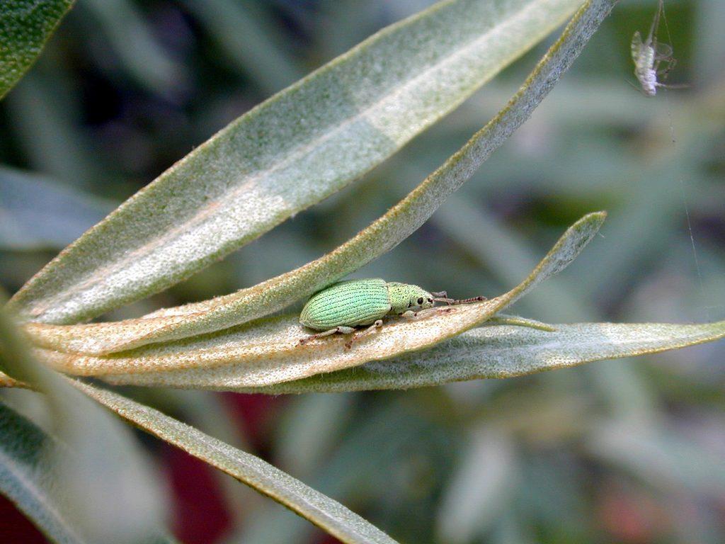 Долгоносик зеленый листовой Phyllobius viridiaeris 1