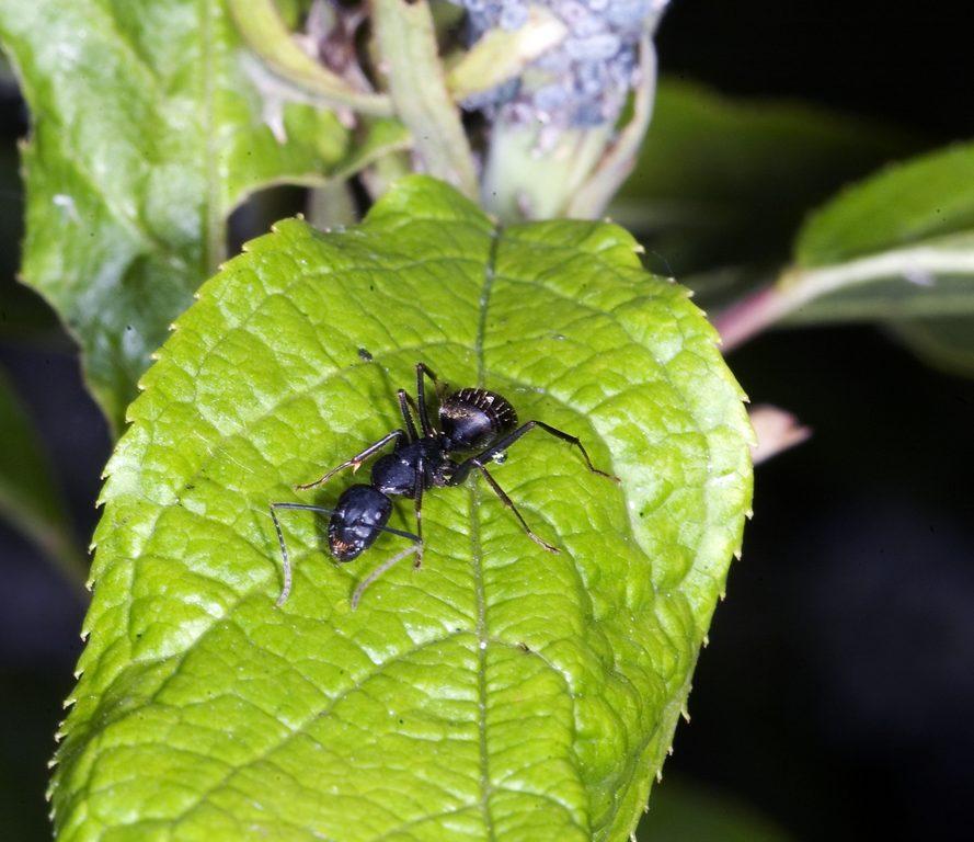 Муравей-древоточец японский DSC_8753 Camponotus japonicus