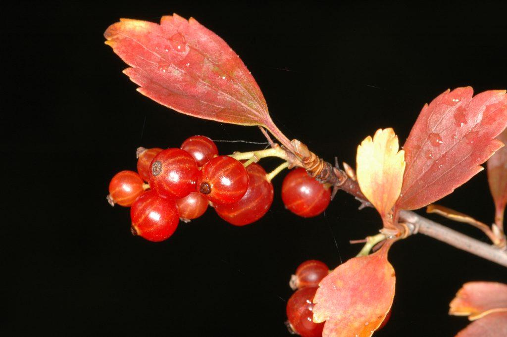 Смородина таранушка DSC_4108