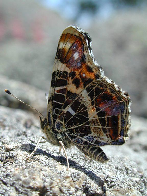 Пестрокрыльница Araschnia levana 3