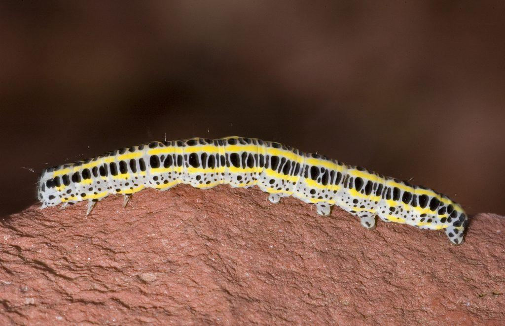 Совка-луночка DSC_2640 Calophasia lunula