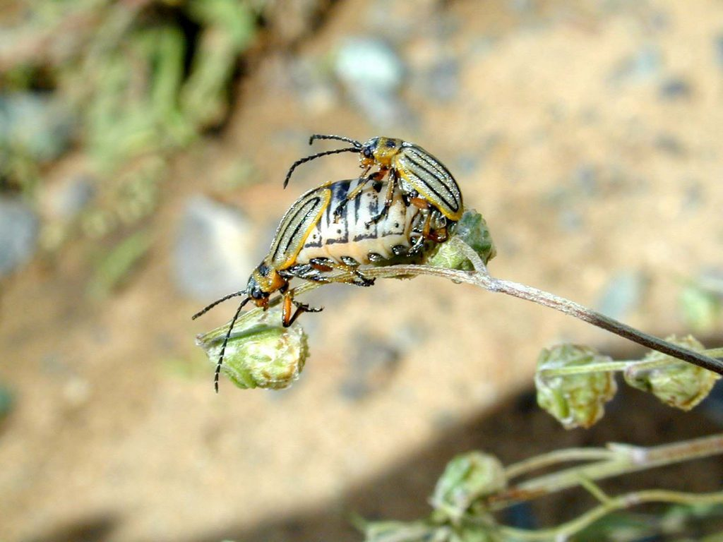 Листоед полынный Pallasiola absinthii 3