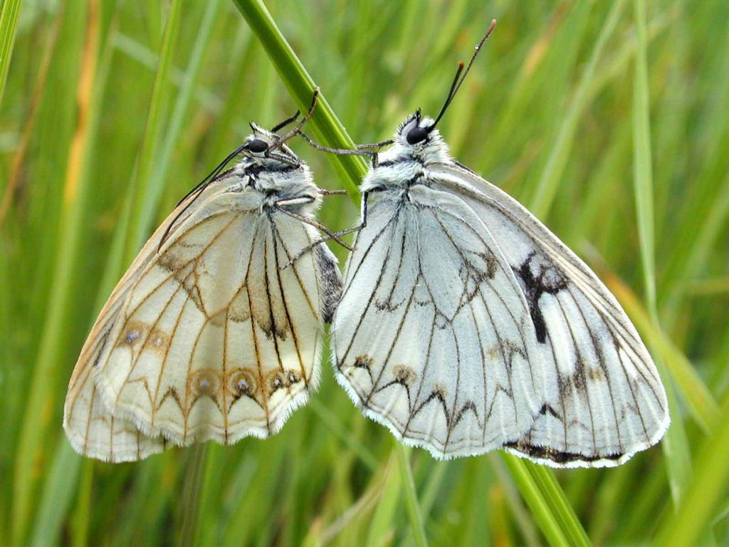 Меланаргия луговая Melanargia halimede 3