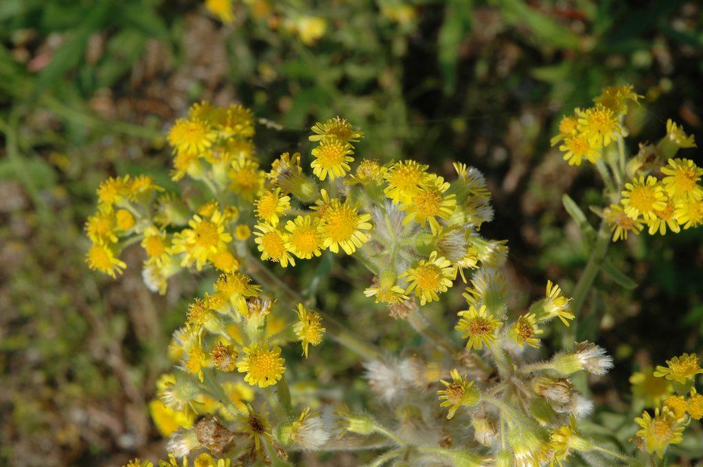 Пепельник болотный Tephroseris palustris (L.) Reichenb. DSC_2241