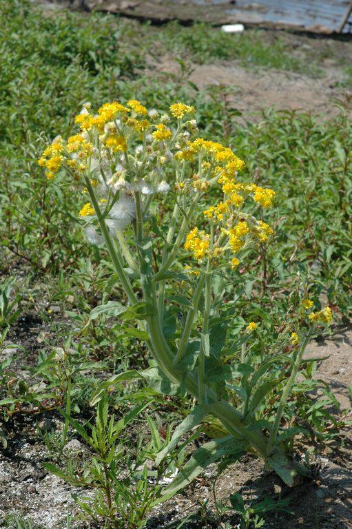 Пепельник болотный Tephroseris palustris (L.) Reichenb. DSC_2267
