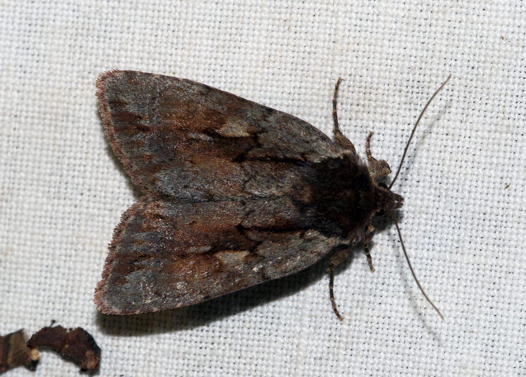 DSC_5563 Xestia brunneopicta