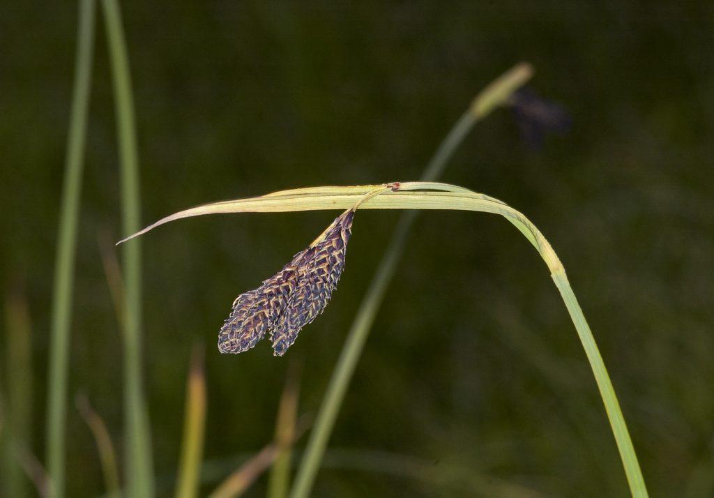 DSC_8107 Carex aterrima
