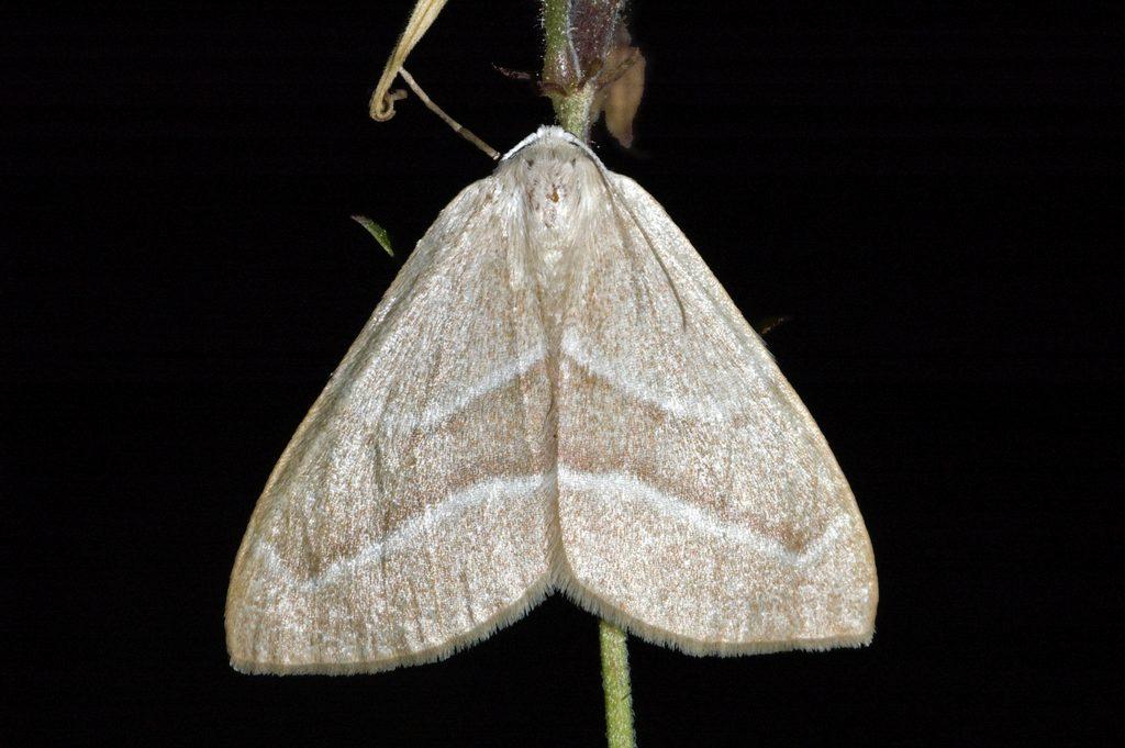 DSC_8230 Hylaea fasciaria Изменчивая хвойная пяденица