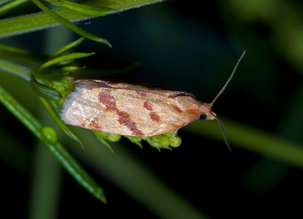 DSC_5473 Clepsis pallidana Листовёртка чеканщица