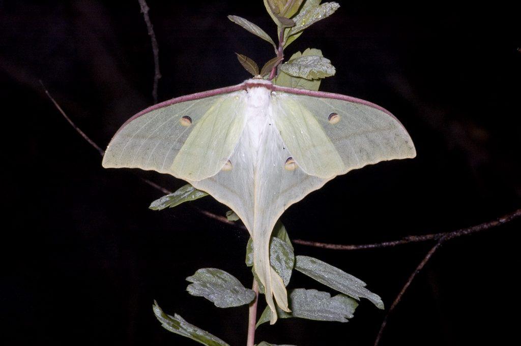 ночная бабочка википедия